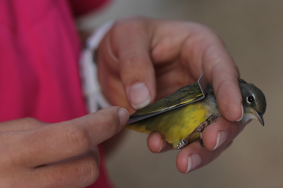 MacGillivray's Warbler being measured. Photo by Tom Alvarez.