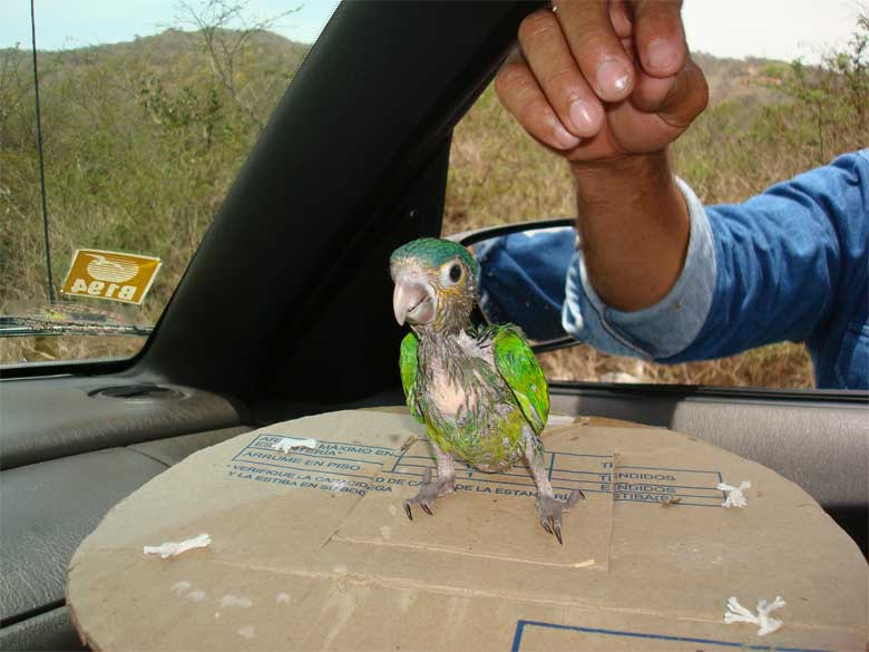 "A brown-throated parakeet is offered for sale in a village re-named as ""The Pet,"" in eastern Venezuela. Marianne Asmussen impersonated a buyer to learn about the hunters and roadside sellers in the poor countryside. Photo by Gonzalo Medina courtesy of the Red Siskin Initiative"