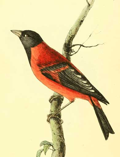 The Red Siskin (Carduelis cucullata), Zoological Illustrations, Volume I 1820 by William Swainson. Seeing such beautiful drawings, it's easy to understand the human desire to have them as pets, and many pet enthusiasts still fail to see the harm in extracting wild animals from their natural habitats. Illustration courtesy of Project Gutenberg