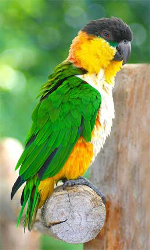 The Black-headed Caique (Pionites melanocephalus) at Wingham Wildlife Park, Kent, England. If traffickers continue to hunt these birds for the pet trade, the day may soon come when they are only found in captivity. Photo by Law Keven licensed under the Creative Commons Attribution-Share Alike 2.0 Generic license