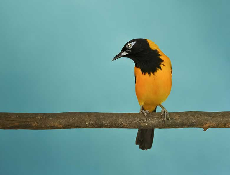 The Venezuelan Troupial, the national bird of Venezuela, made scarce by habitat loss and wildlife traffickers collecting for the pet trade. Photo by Paolo Costa Baldi License: GFDL/CC-BY-SA 3.0