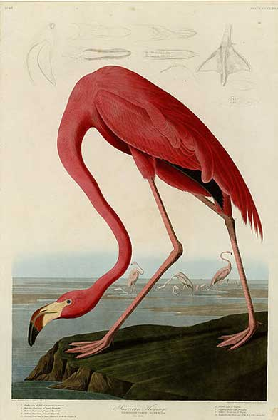 An American flamingo as illustrated by John James Audubon in Birds of America 1838. The beauty of pictures such as these familiarized Europeans and Americans with exotic birds leading to the human desire to possess them. Illustration courtesy of the University of Pittsburgh