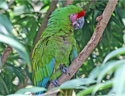 A green macaw (ara militaris), one of the most trafficked birds in Venezuela. Photo by Dick Daniels licensed under the Creative Commons Attribution-Share Alike 3.0 Unported license.