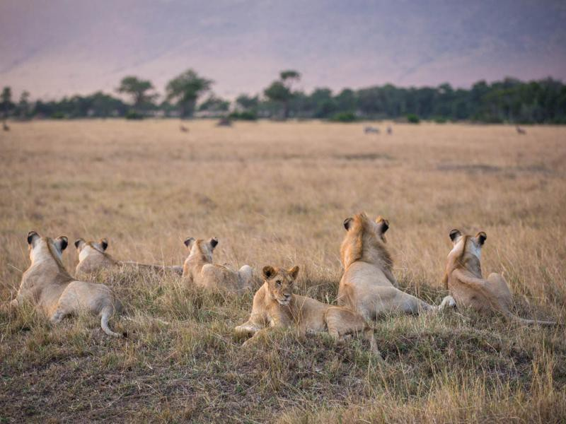 Pride of Lions in Maasai Mara on Day 1 of live broadcast. Photo by Stuart Price, Make It Kenya.