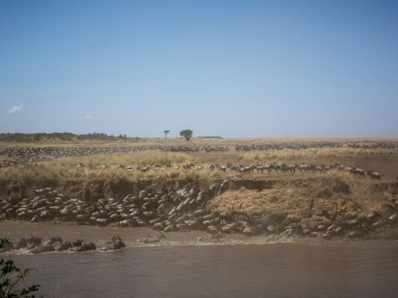 Wildebeest and zebras crossing the Mara river. Photo by Stuart Price, Make It Kenya.