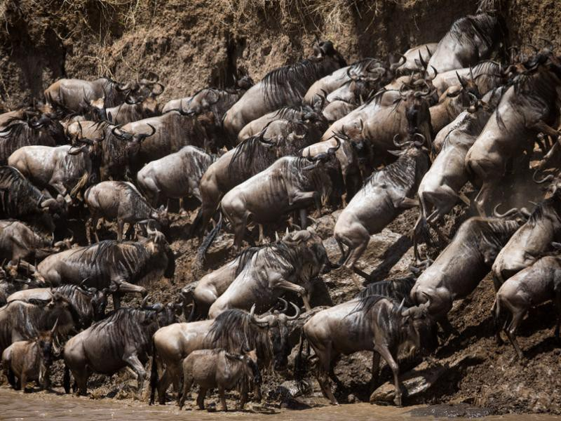 Herds of wildebeest migrating on Day 1 of live broadcast. Photo by Stuart Price of Make It Kenya.