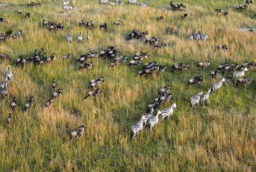 Millions of wildebeest, together with zebras and other antelopes, make their way from Serengeti in Tanzania to Maasai Mara in Kenya. Photo by Udayan Dasgupta.