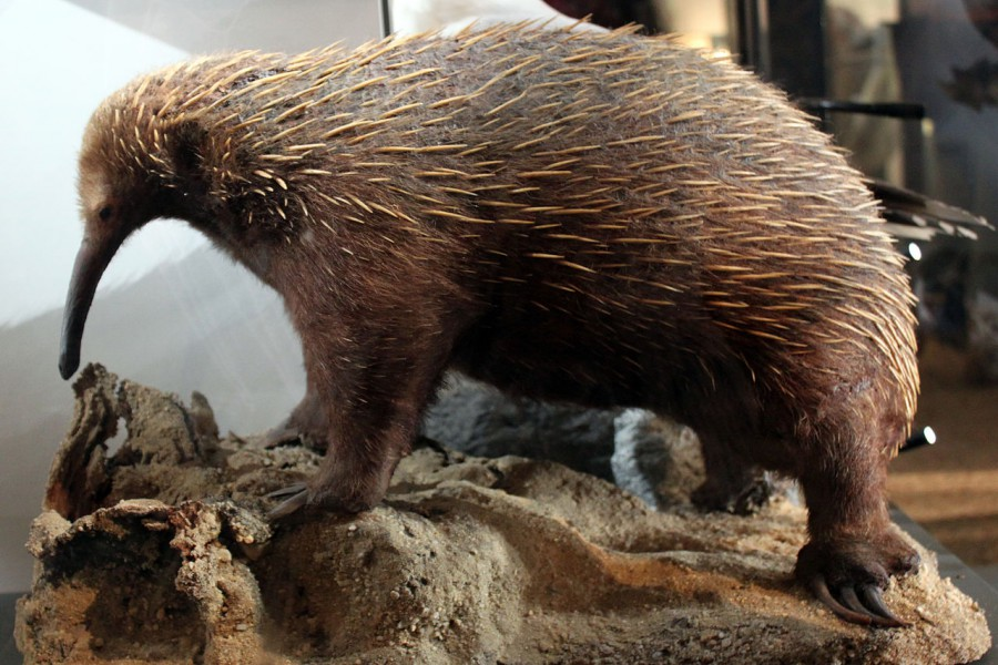 Taxidermied western long beaked echidna at the Museum of Natural History in Berlin. Photo by Anagoria, Wikimedia Commons.