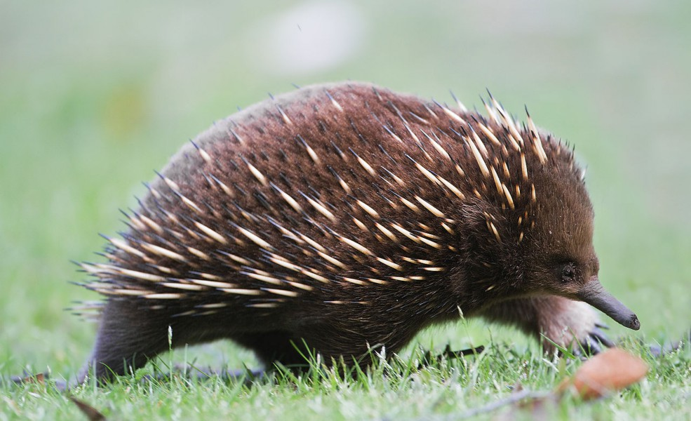 Short beaked echidna in Mount Field National Park, Tanzania. Photo by JJ Harrison, Wikimedia Commons.