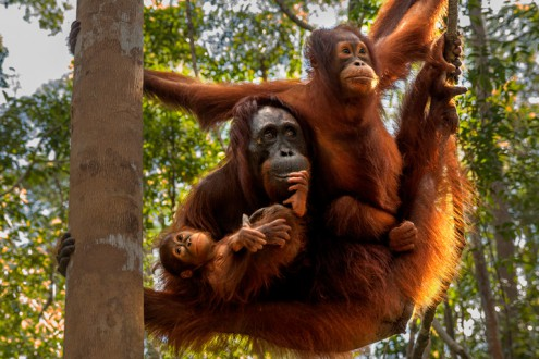 A family of Bornean orangutans (Pongo pygmaeus) in Tanjung Puting National Park, Borneo. The mother was rescued from a palm oil development and re-released as a juvenile here, but unable to survive in the wild because she lacked the careful upbringing required to find food throughout the year. Photo by Matthew Luskin / NGS.