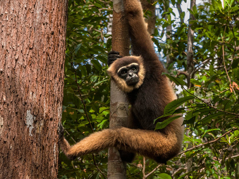 The endangered Bornean white-bearded gibbon (Hylobates albibarbis) at a forest edge near a new palm oil plantation in Tanjung Puting National Park, Borneo. Photo by Matthew Luskin / NGS.