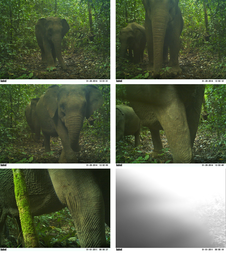 A family of critically endangered elephants (Elephas maximus sumatrensis) in Gunung Leuser National Park are caught destroying a camera trap. Since cameras are mounted with chains, the elephants uprooted the entire tree and stomped it 1 foot into the mud. It's unclear exactly what the elephants hate about the cameras but it is a common issue wherever they are found.