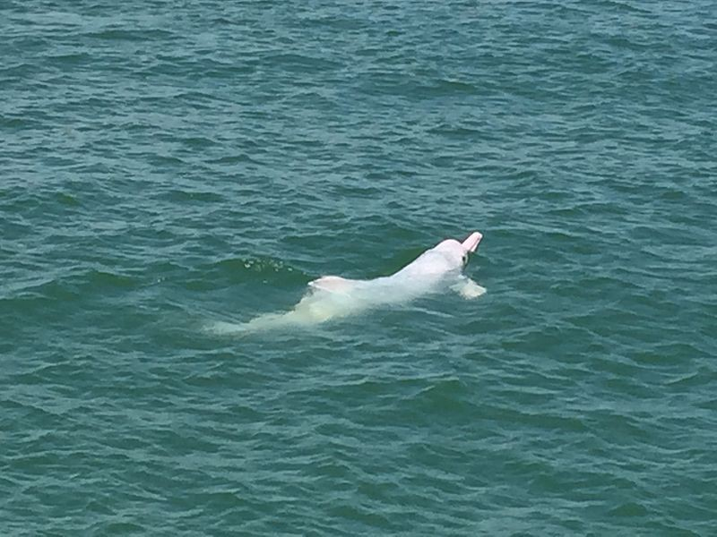 Chinese white dolphin off the coast of Lantau Island, Hong Kong. Photo by Leonard Reback, licensed under the Creative Commons Attribution-Share Alike 4.0 International license.