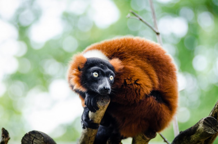 Major threats to the red ruffed lemur includes habitat loss due to logging, and hunting. Photo by Mathias Appel, Flickr: Public domain.