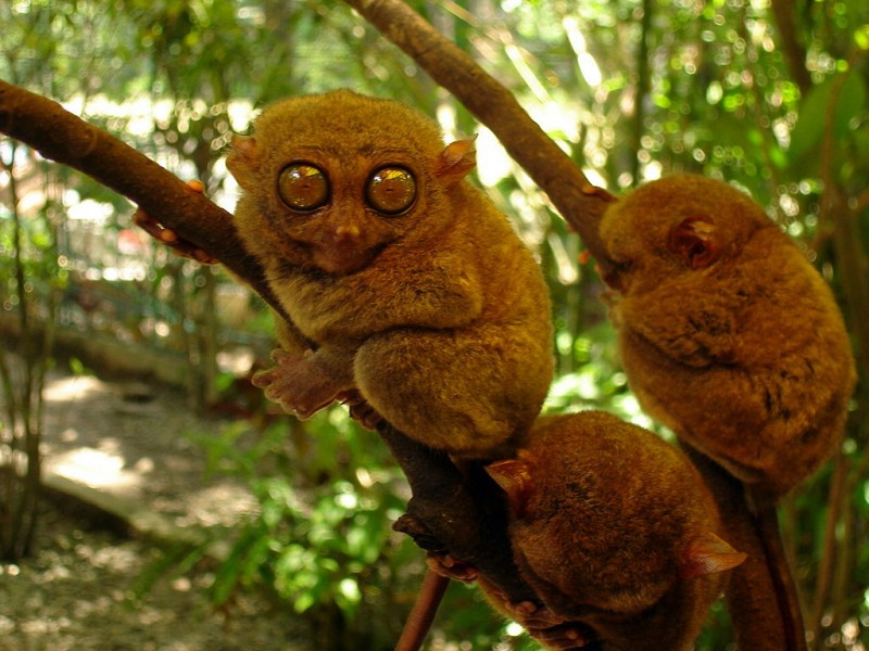 The Philippine tarsiers are illegally traded as pets. Photo from Wikimedia Commons CC BY-SA 3.0
