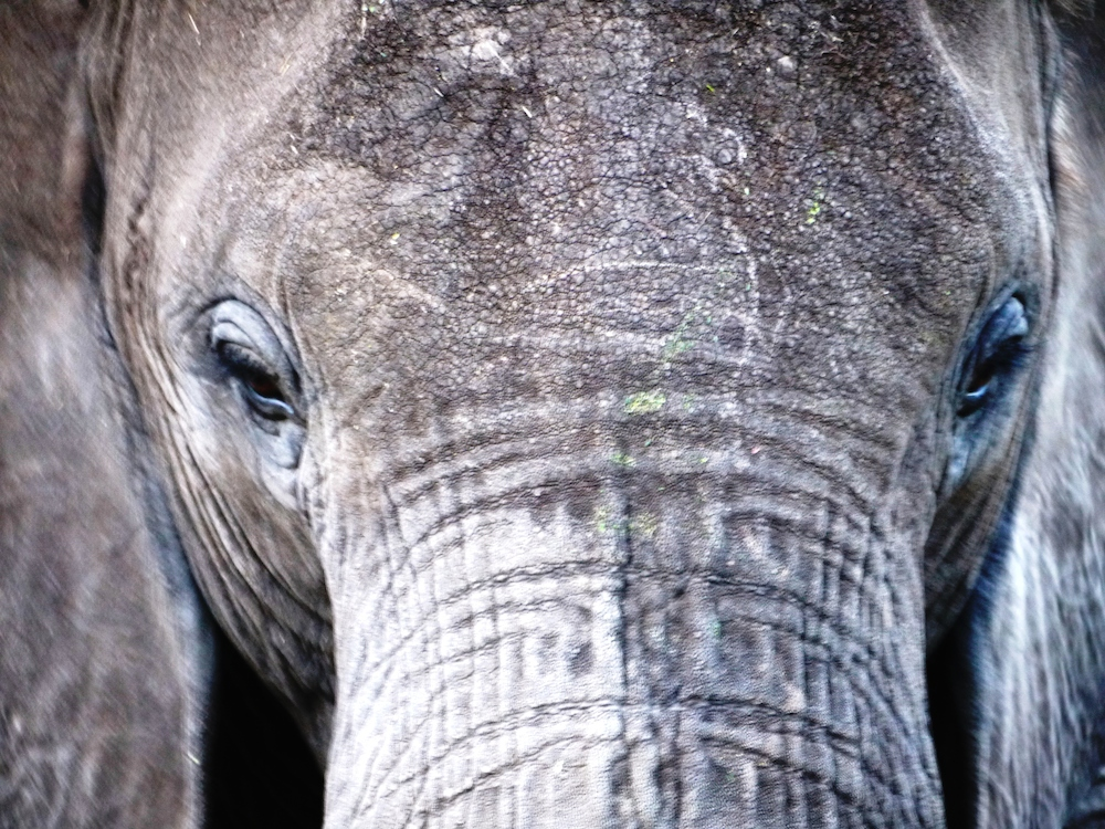 Closeup of savanna elephant in Tanzania. Photo by Bill Laurance.