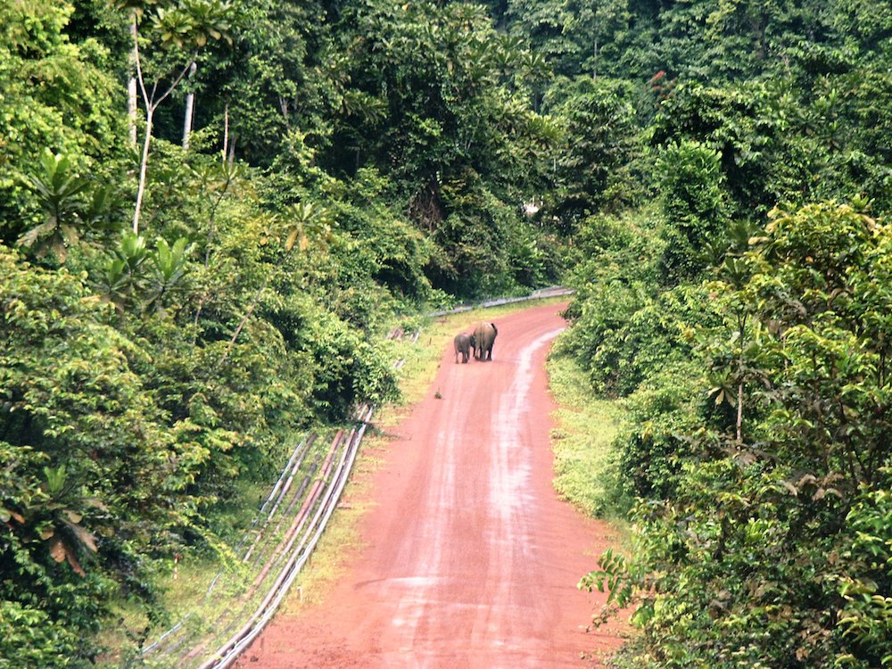 Forest elephants wandering down an oil-production road in southern Gabon. Photo by Bill Laurance.