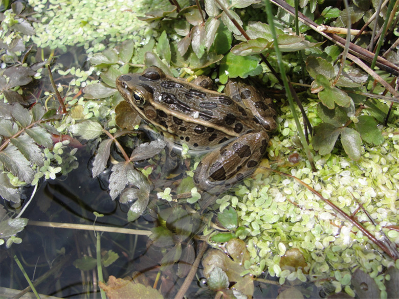 Northern leopard frog, photographed in Spring Valley, Nevada. Photo by Laurie Averill-Murray, USFWS/ Flickr.