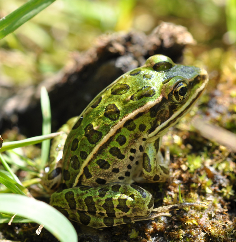 Northern leopard frog, photographed in Canada. Studies have shown that atrazine can change the species's sex during early development and also affect its immune system. Photo by Douglas Wilhelm Harder/ Wikimedia Commons.
