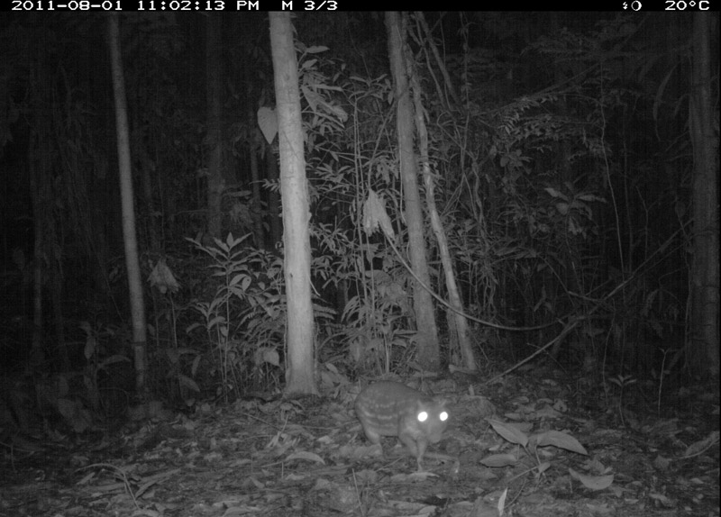 Paca rodent (Cuniculus-paca). Photo courtesy of the TEAM Network.
