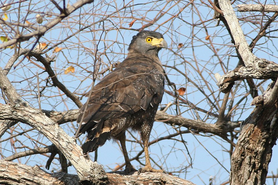 A crested serpent eagle in Java, Indonesia. Photo courtesy of Ron Knight/Wikimedia Commons
