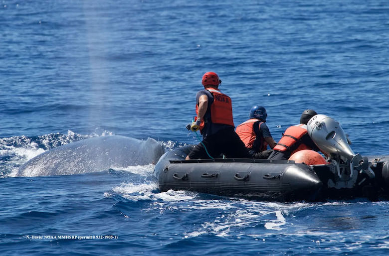 Responders with the Hawaiian Islands Disentanglement Network attempt to cut a line wrapped around the tail of a humpback whale. Photo courtesy of N.Davis/Verbeck/NOAA MMHSRP (NOAA permit # 932-1905-1).