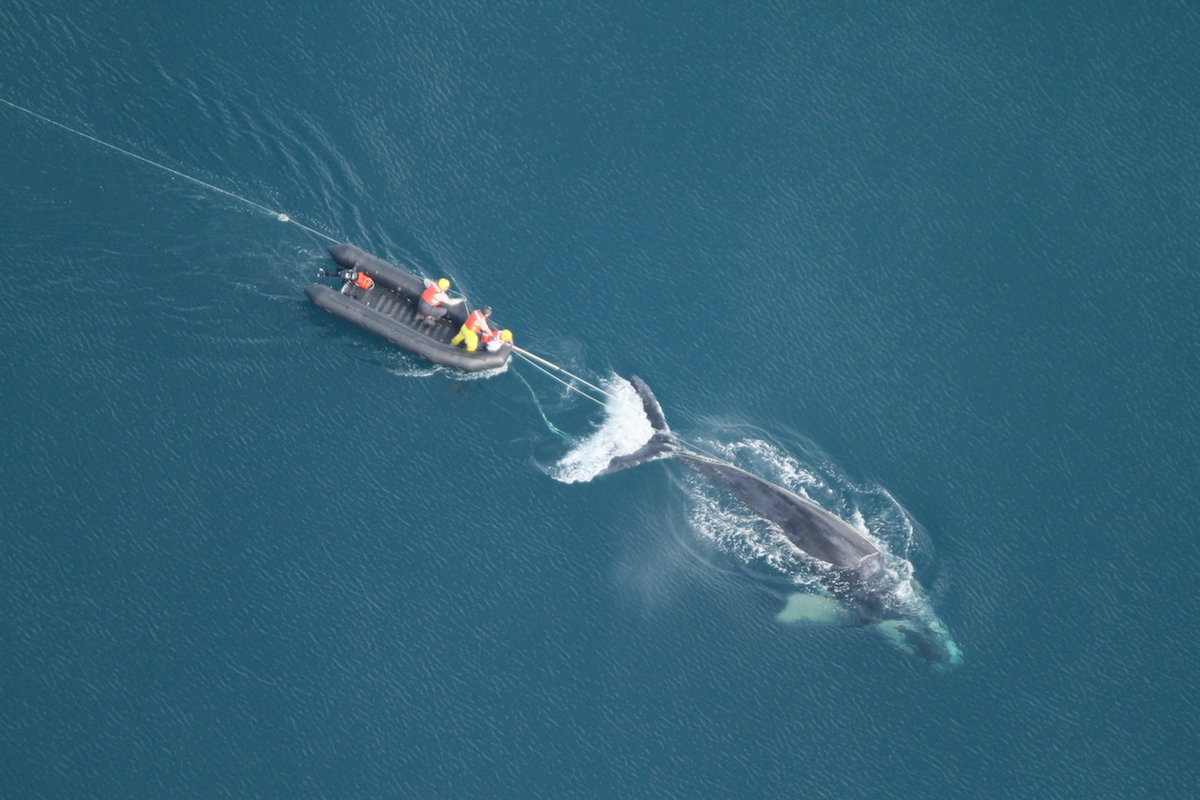 A team attempts to free an entangled North Atlantic right whale, an endangered species. Photo courtesy of NOAA / FWC (NOAA permit #14588).