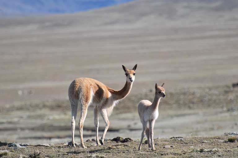 Vicuña mother and fawn at Apolobamba. Photo by Daniel Maydana