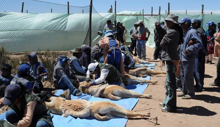 Fiber is harmlessly sheared from vicuñas. Photo by Daniel Maydana