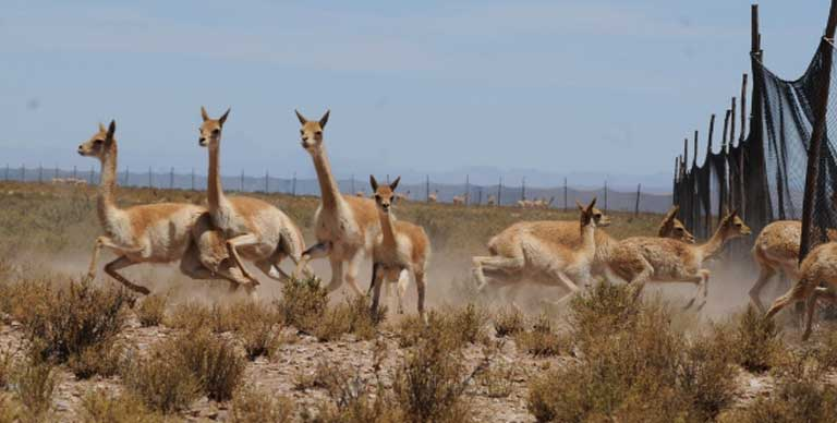 Vicuñas are herded and captured in the community of Villazón.  Photo by Daniel Maydana