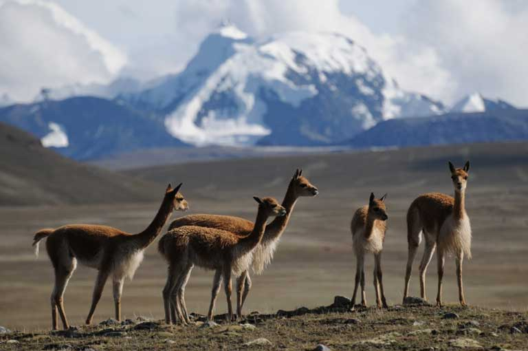 A family of vicuñas at Apolobamba, Bolivia. Photo by Daniel Maydana