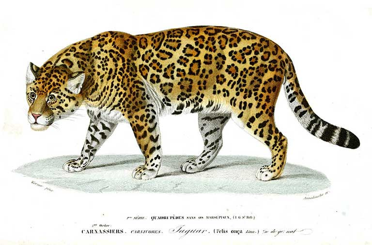 Modern society's fascination with Latin America's exotic wild animals was stimulated in the 18th and 19th centuries when naturalist artists created beautiful illustrations for publication, like this one from the Dictionnaire universel d'histoire naturelle Atlas Zoologie of 1846. Today, collectors want to possess more than pictures, creating a ready market for traffickers of rare and threatened animals. Image by Werner & Annedouche is in the public domain