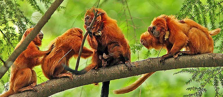 Golden lion tamarins live in family groups, and are torn from those families by traffickers. Photo by Steve  licensed under the Creative Commons Attribution-Share Alike 2.0 Generic license.