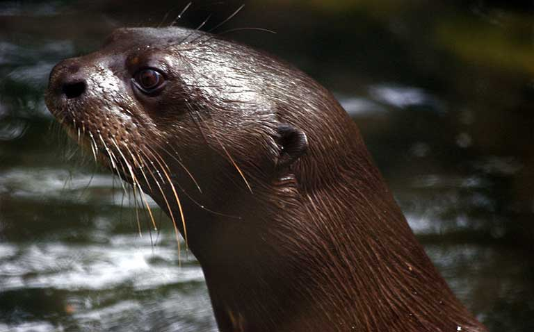 Giant river otter. Photo by David.Monniaux licensed under the Creative Commons Attribution-Share Alike 3.0 Unported