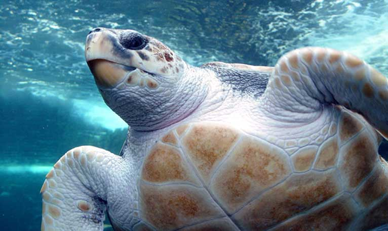 Loggerhead turtle. Photo by Damien du Toit licensed under the Creative Commons Attribution 2.0 Generic license