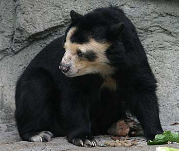 A spectacled bear. Photo by Cburnett under the terms of the GNU Free Documentation License, Version 1.2 or any later version