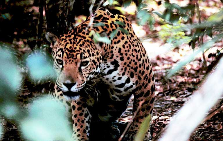 Jaguar moving through the underbrush. Photo by Gary M. Stolz courtesy of US Fish and Wildlife Service