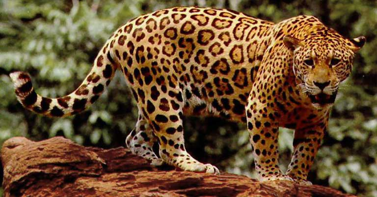 Jaguar. Photo courtesy of USFWS