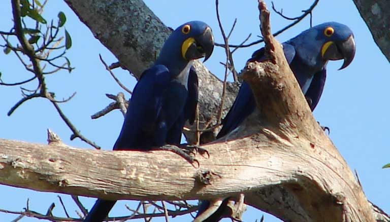 Brazilian Hyacinth Macaws. Photo by Alexander Yates licensed under the Creative Commons Attribution 2.0 Generic license.