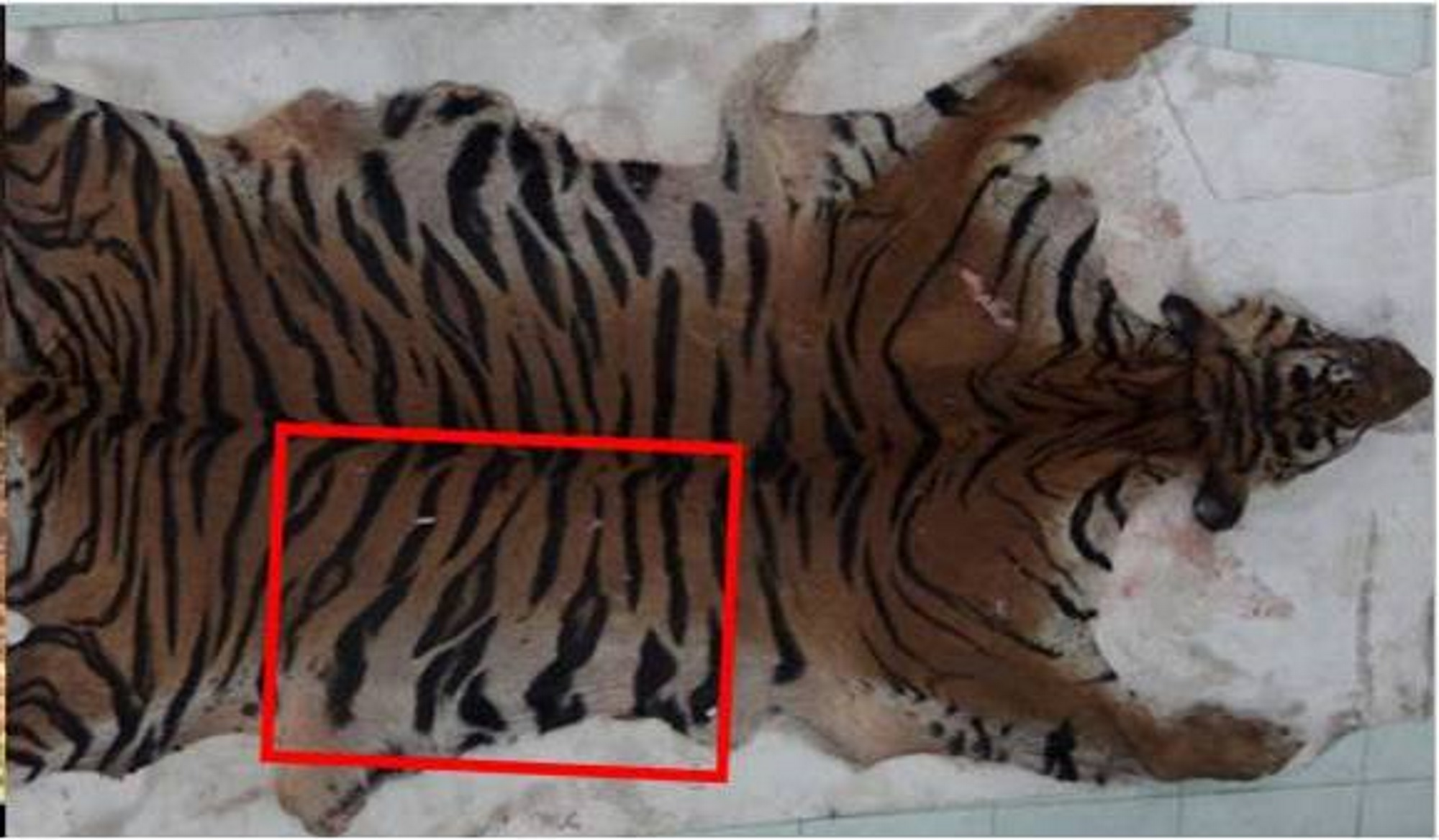 animal poaching tigers - photo #32
