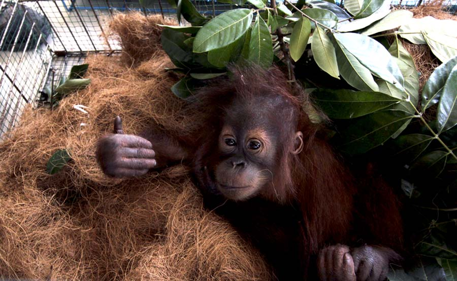One of the baby orangutans that was confiscated from a trafficker in Aceh in August. Photo by Junaidi Hanafiah