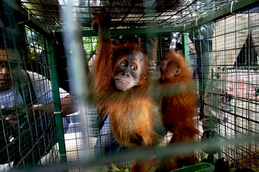 These baby orangutans were confiscated from a trafficker in Indonesia's Aceh province in 2015. Photo by Junaidi Hanafiah