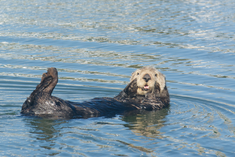 A sea otter rests in the harbor at Moss Landing, California. Scientists found parabens in their brain, liver, and kidney tissue. Photo by Bethany Augliere.