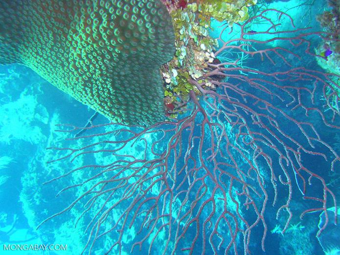 Fan coral in Central America. Photo by Rhett Butler.