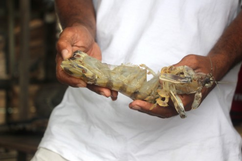 A mantis shrimp before it is packed in plastic bottles and cardboard boxes on Wanci Island before getting shipped to cities on mainland Sulawesi.  Though all fish shipped out of the national park must be recorded on permits, few traders have shipping documents and claim they are rarely checked on. Photo by Melati Kaye