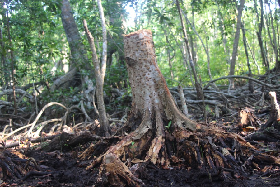 A stump of a tree in the Sumbano sacred forest, Kaledupa Island, Wakatobi National Park, after a woodcutting crew passed through. It is illegal in the national park to cut live mangrove though residents can gather dead and fallen trees for firewood. Photo by Melati Kaye