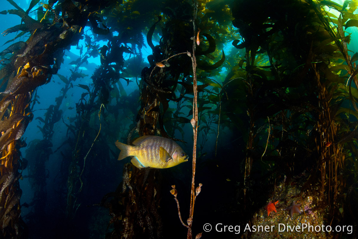 A kelp forest off the California Coast, where pockets of full protection alternate with   zones allowing limited fishing. Photo by Greg Asner.