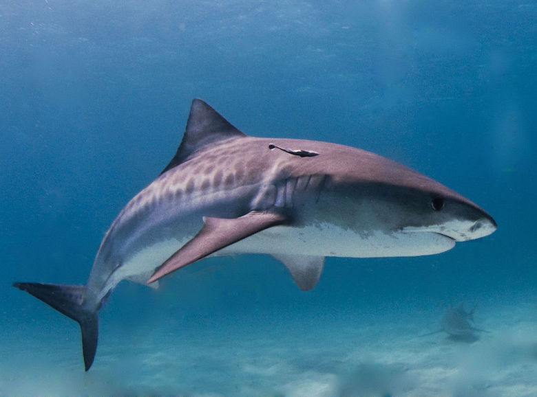A tiger shark in the Bahamas, one of the three species responsible for most unprovoked attacks on humans. Photo by Albert kok/Wikimedia commons.