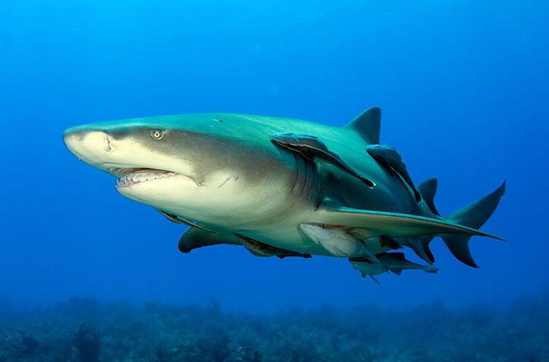 A lemon shark in the Bahamas. The species occasionally attacks humans. Photo by Albert kok/Wikimedia commons.