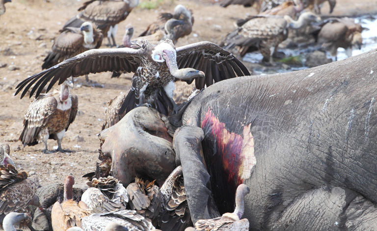 To kill vultures, poachers poison large animals with powerful pesticides, which in turn kill birds that eat their tissues. Photo by Ralph Buij.